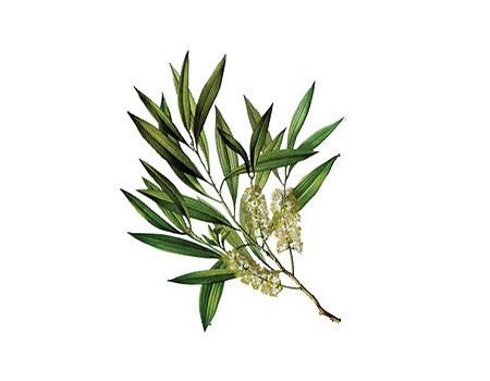 illustration branche tea tree